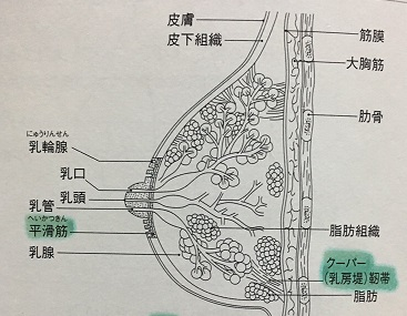 クーパー靭帯